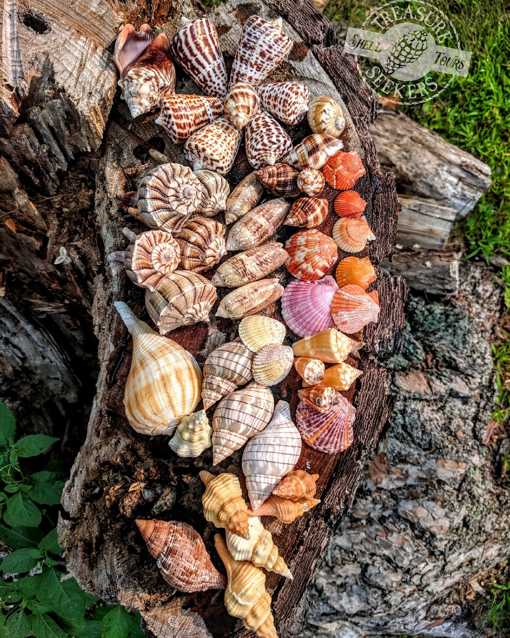 Some of the great collection of shells found during a Treasure Seekers Shell Tour trip.