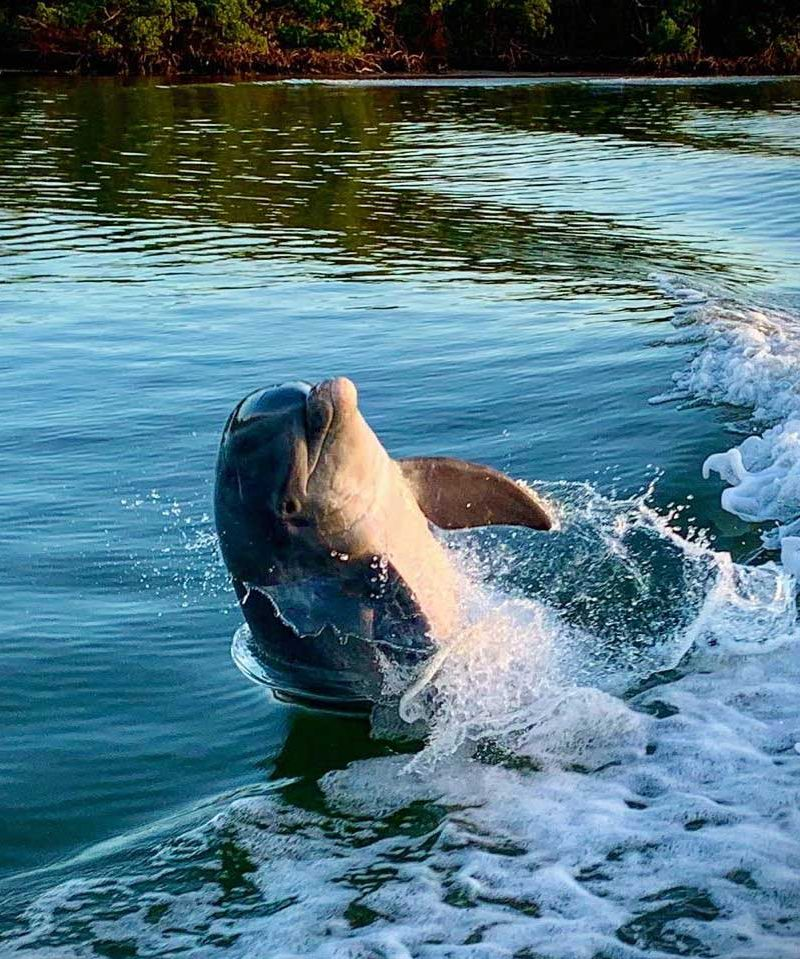 Bottlenose Dolphin playing in boat wake | Treasure Seekers Shell Tours - Eco Tour